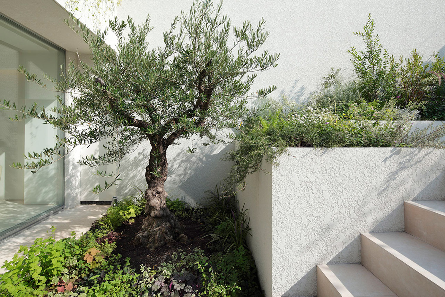 It was planted in the garden facing the living room. Olive tree over 100 years old. }