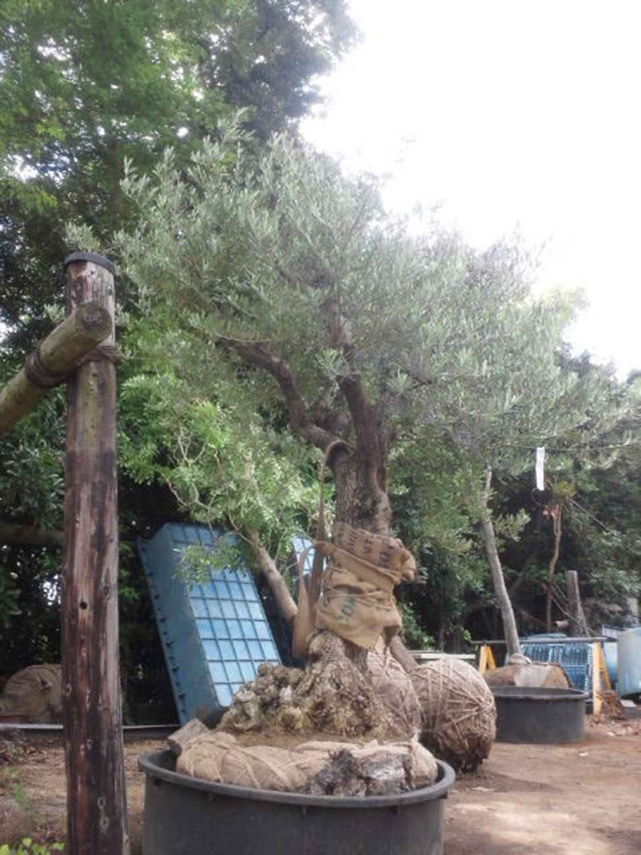 リビングに面する庭に植えられる樹齢100年以上のオリーブの木。