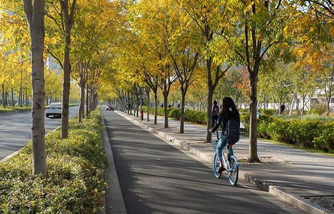 In bright fall colors, 4 rows of Sapindus mukorossi and 2 rows of Ginkgo biloba shade the boulevard, creating human-scaled spaces, seasonal effects, and a pleasant driving, riding, and walking experience. Insaw Photography